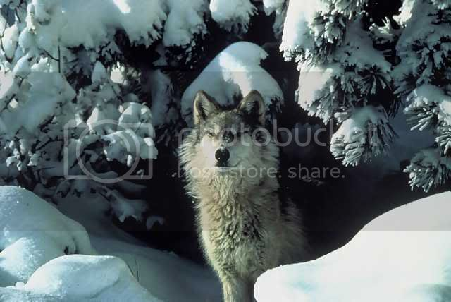 snow white wolf Pictures, Images and Photos